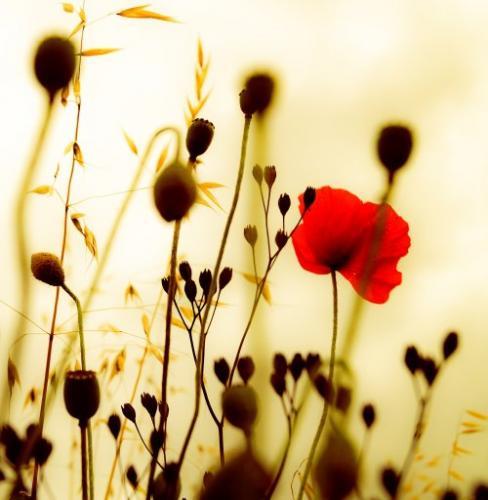 Peering Throgh The Poppys