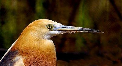 South American heron